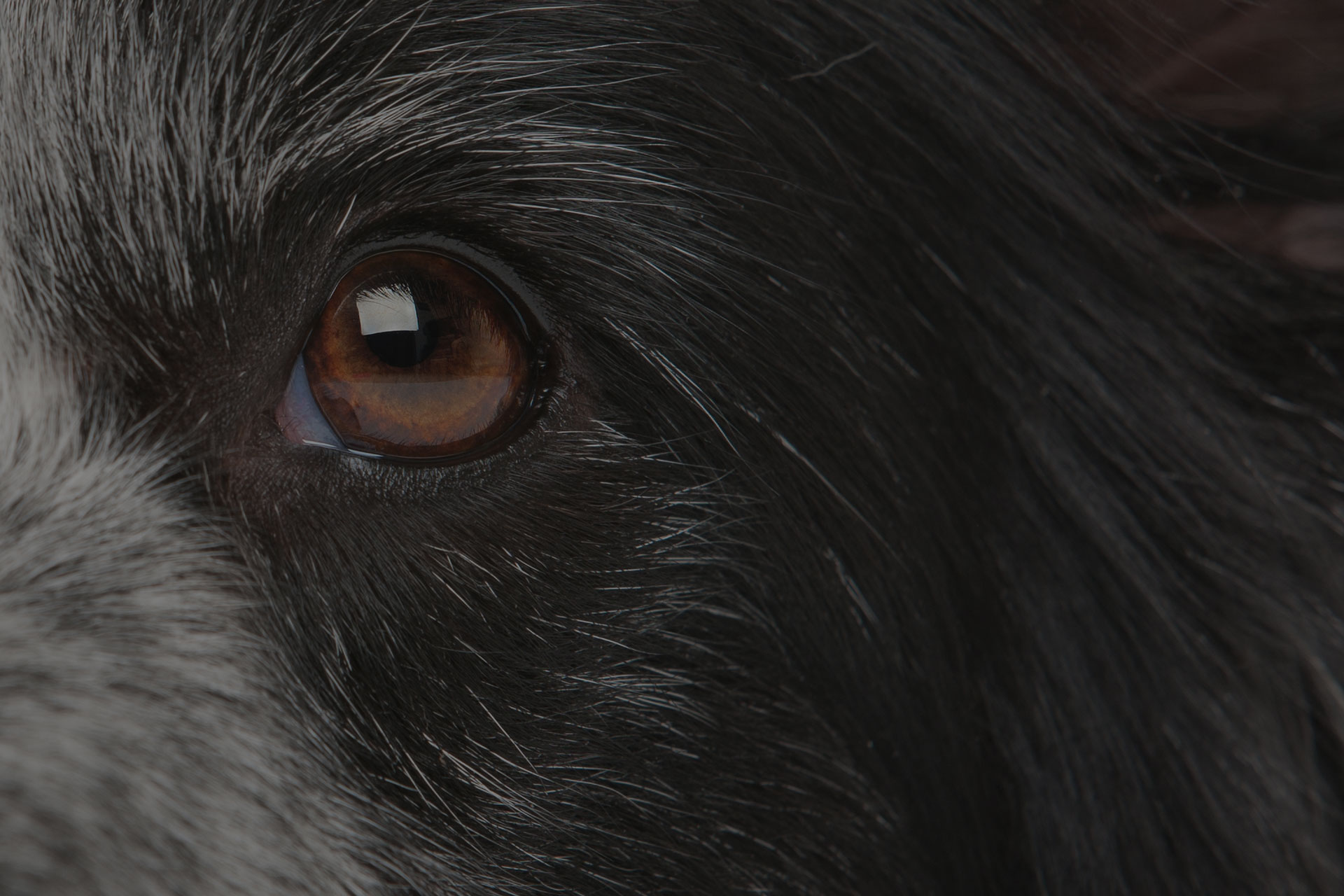 Dog eye close up