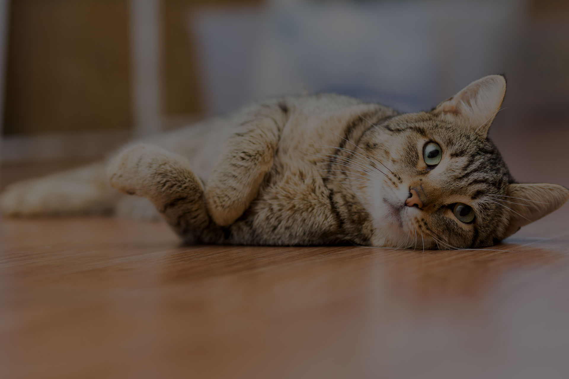 Cat on wooden floor